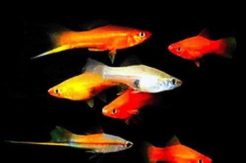 10 Assorted Swordtail Live Fish Package - Bulk Save