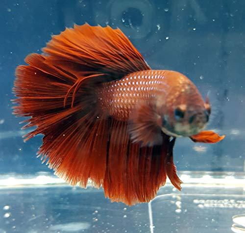 Betta Splendens Siamese Male Fighting Fish - Assorted Colors | Live Tropical Aquarium Fish