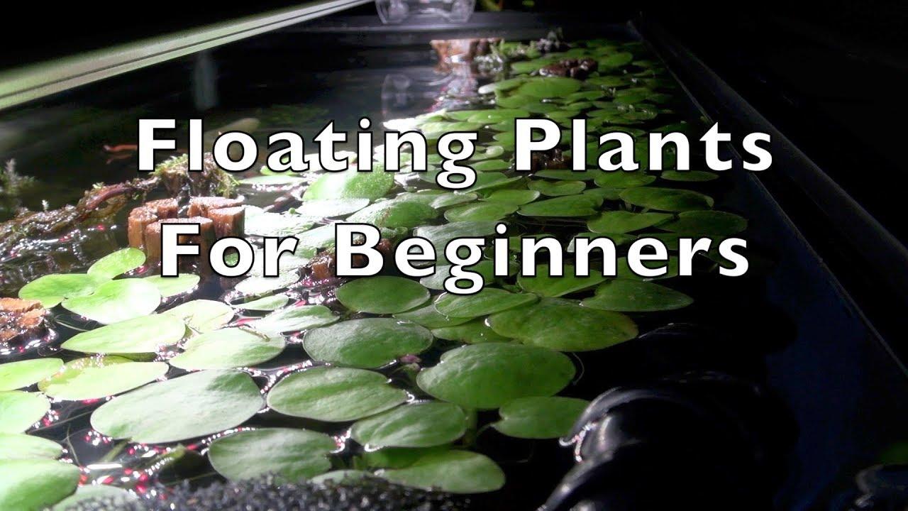 8 Low-Maintenance & Cost-Effective Floating Aquarium Plants