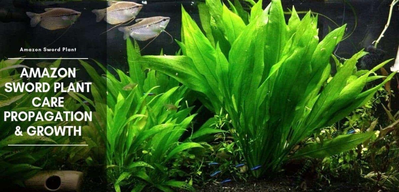 Amazon Sword Plant Care
