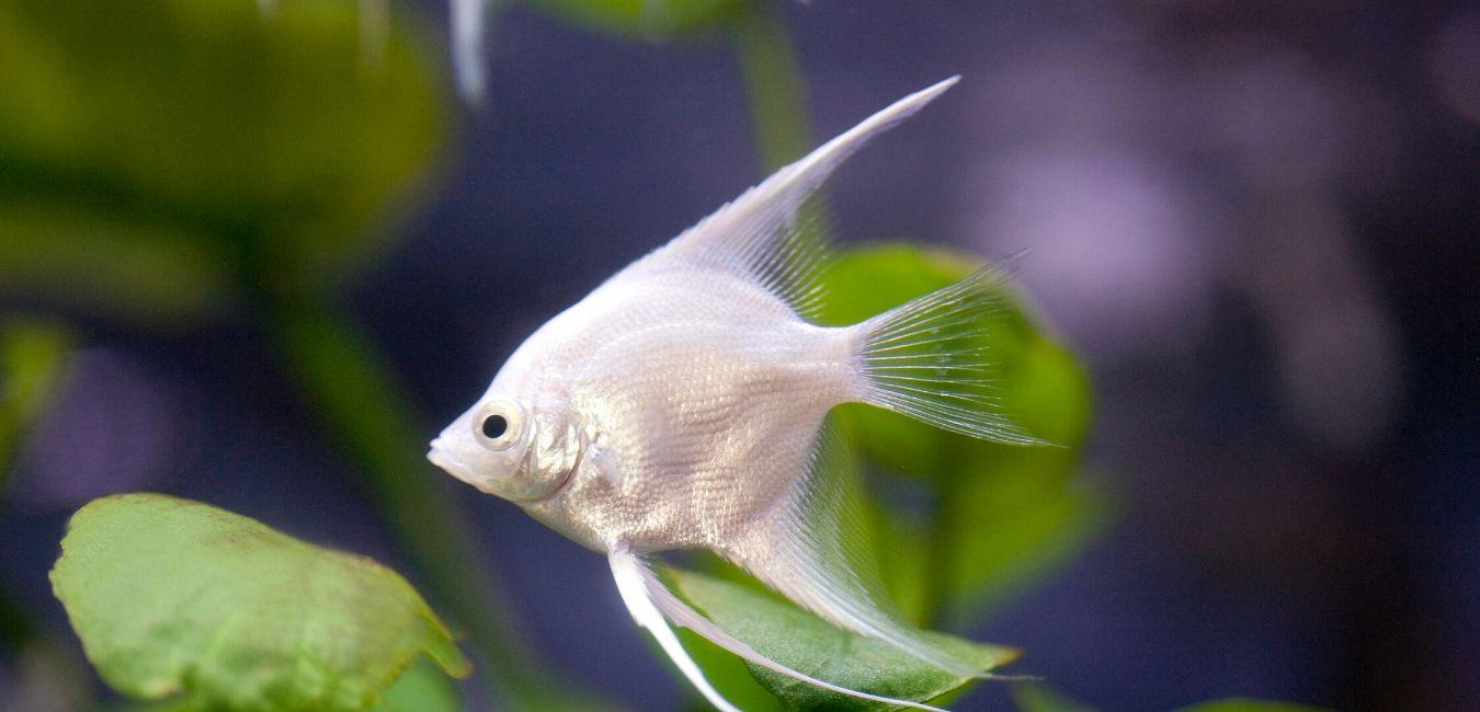 10 Best Tank Mates For Angelfish