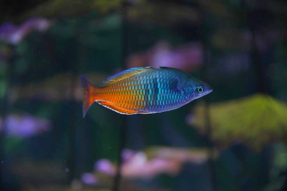 Boeseman's rainbowfish (Melanotaenia boesemani), also known as the Boesemani rainbowfish.