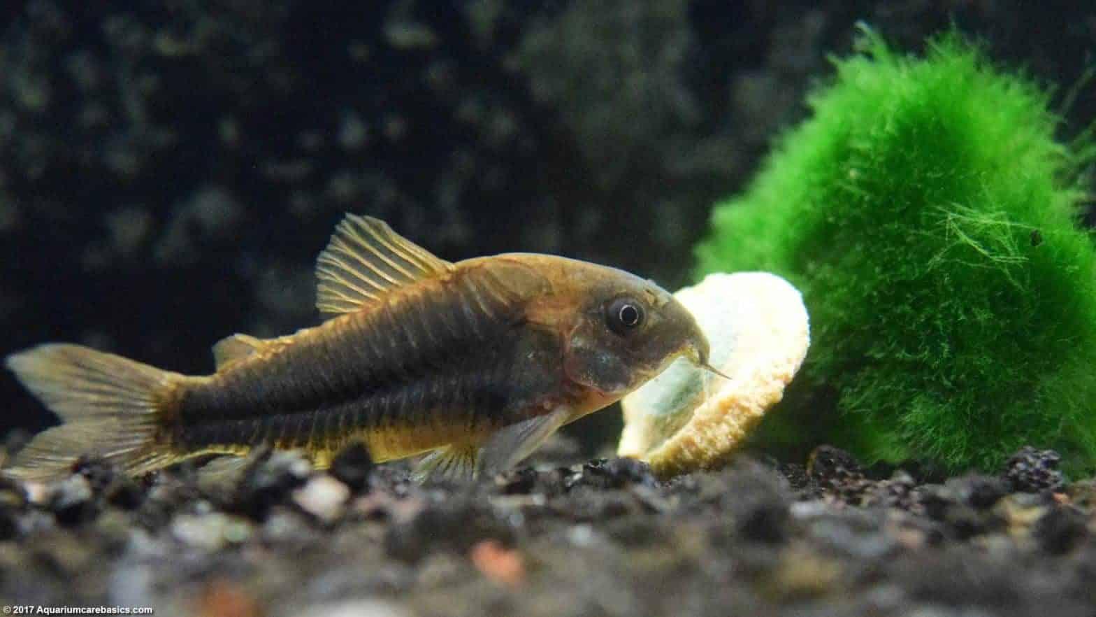 Cory Catfish eating algae.