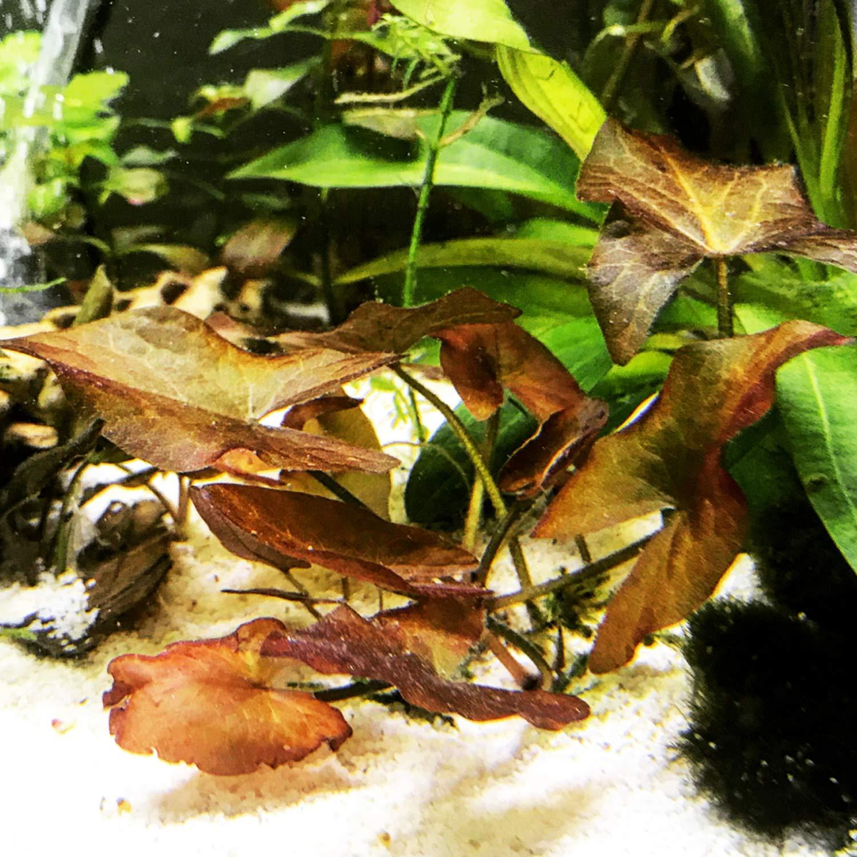 Dwarf Aquarium Lily