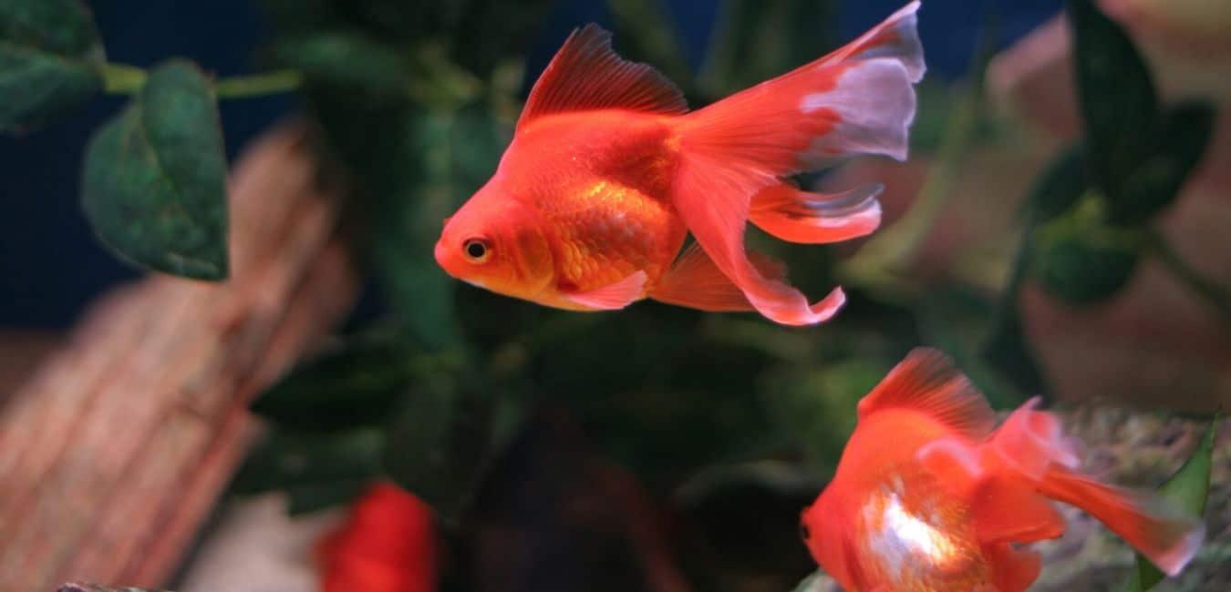 Best Goldfish Tank Mates (#5 Is My Favorite)