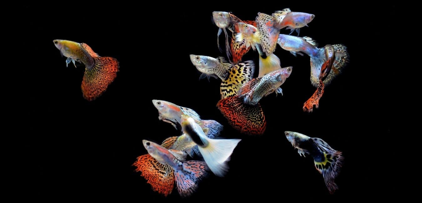 Guppies of varying colors and sizes.