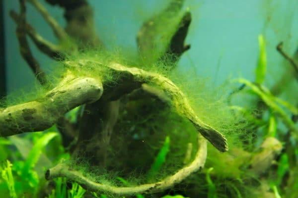 Hair Algae