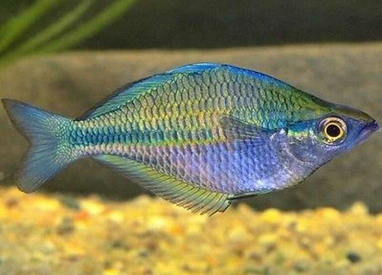 Melanotaenia Fluviatilis Australian Rainbowfish