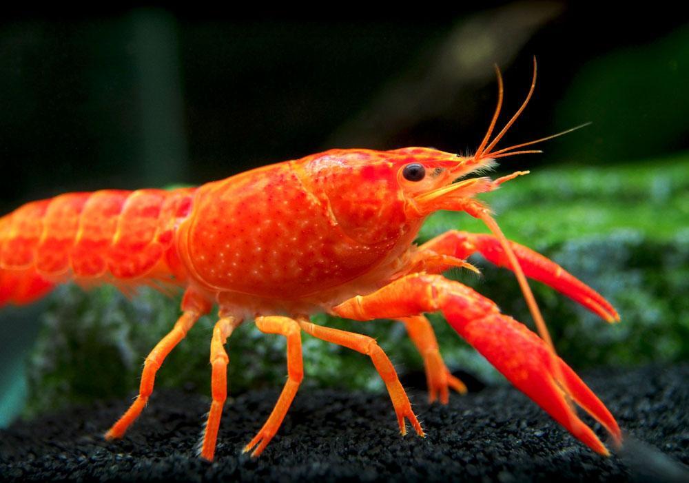 Neon Red Crayfish