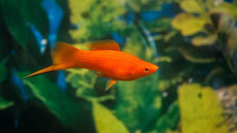 Swordtail fish.