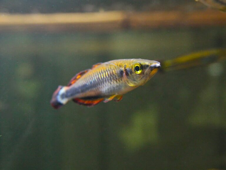 The Madagascar rainbowfish (Bedotia geayi)