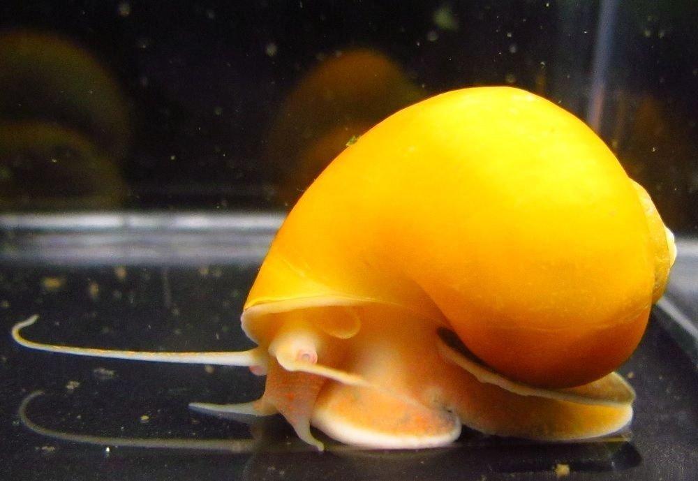 Apple Snail - Mystery Snail