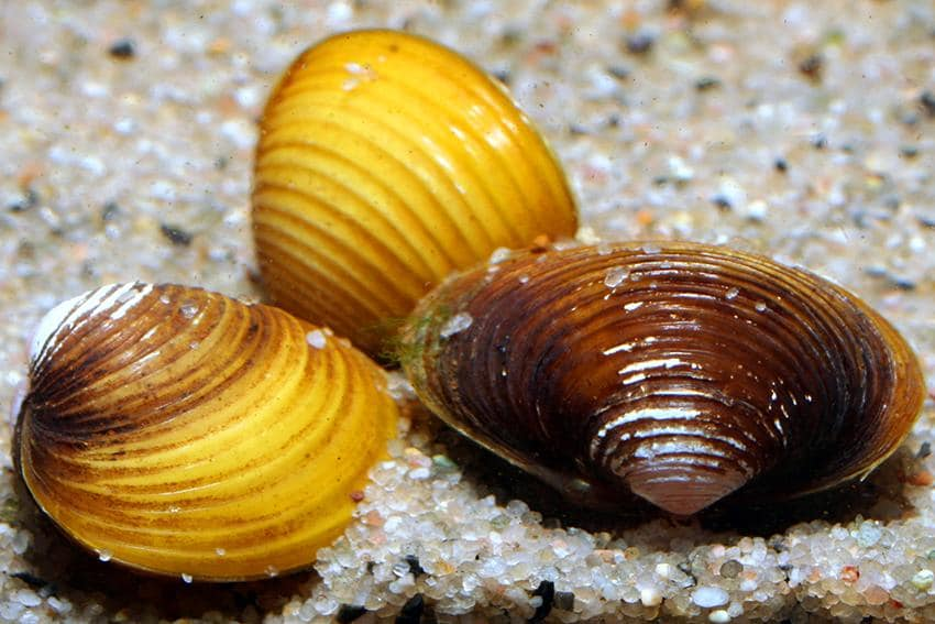 Freshwater Shell Size, Texture & Color