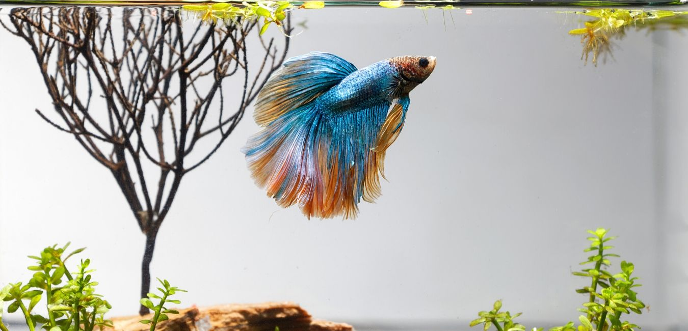 How To Breed Betta Fish: Easy 5 Step Guide