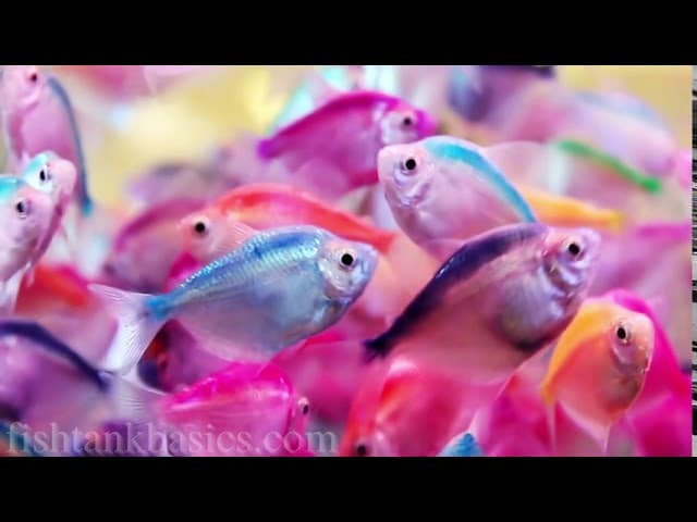 What Type Of Rainbowfish Species Are These?