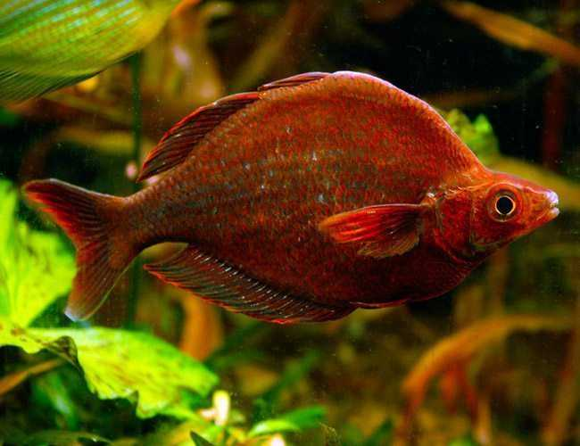 red rainbowfish (Glossolepis incisus).