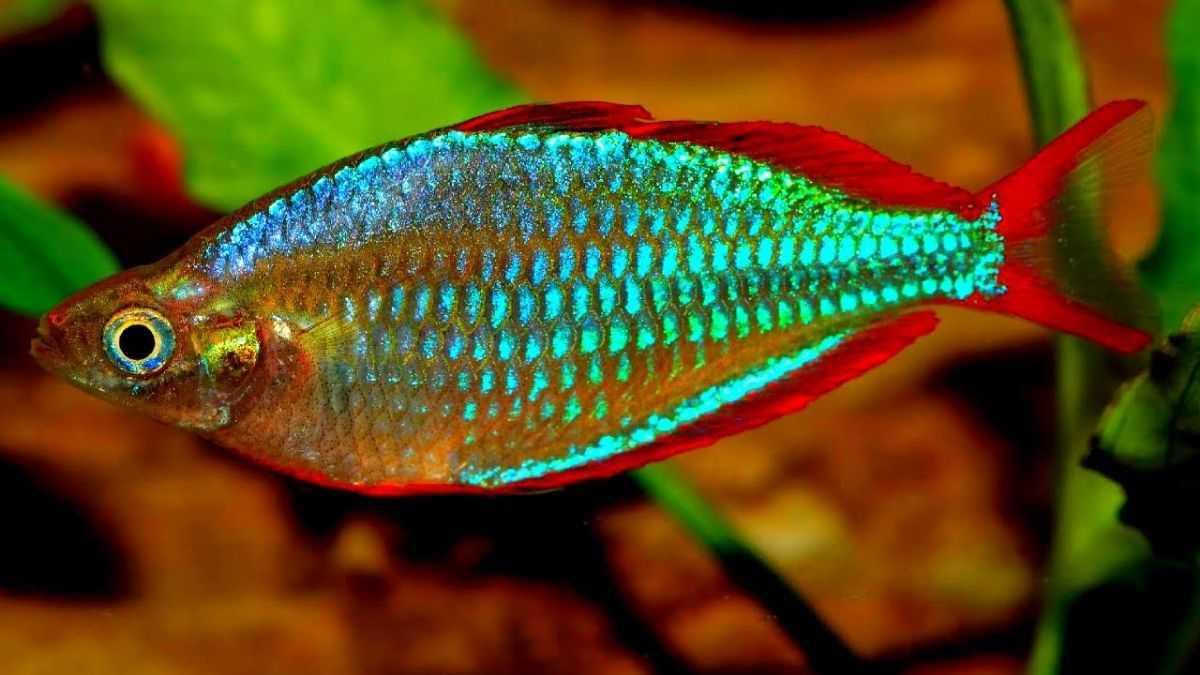 Types Of Rainbowfish