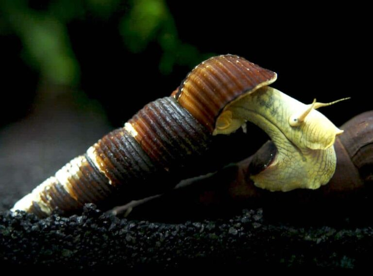 A gold rabbit snail crawling over the shell of another rabbit snail.