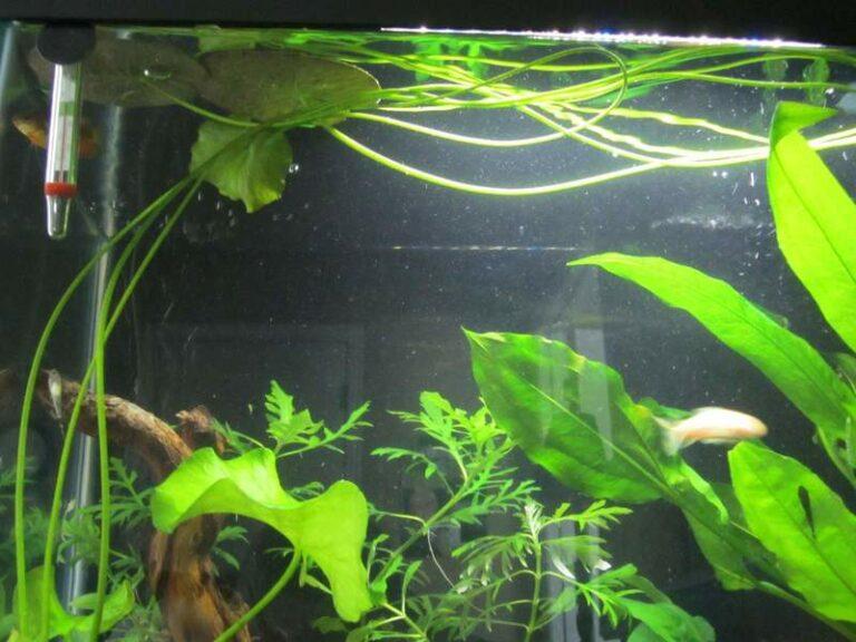 Aquarium banana plant roots.