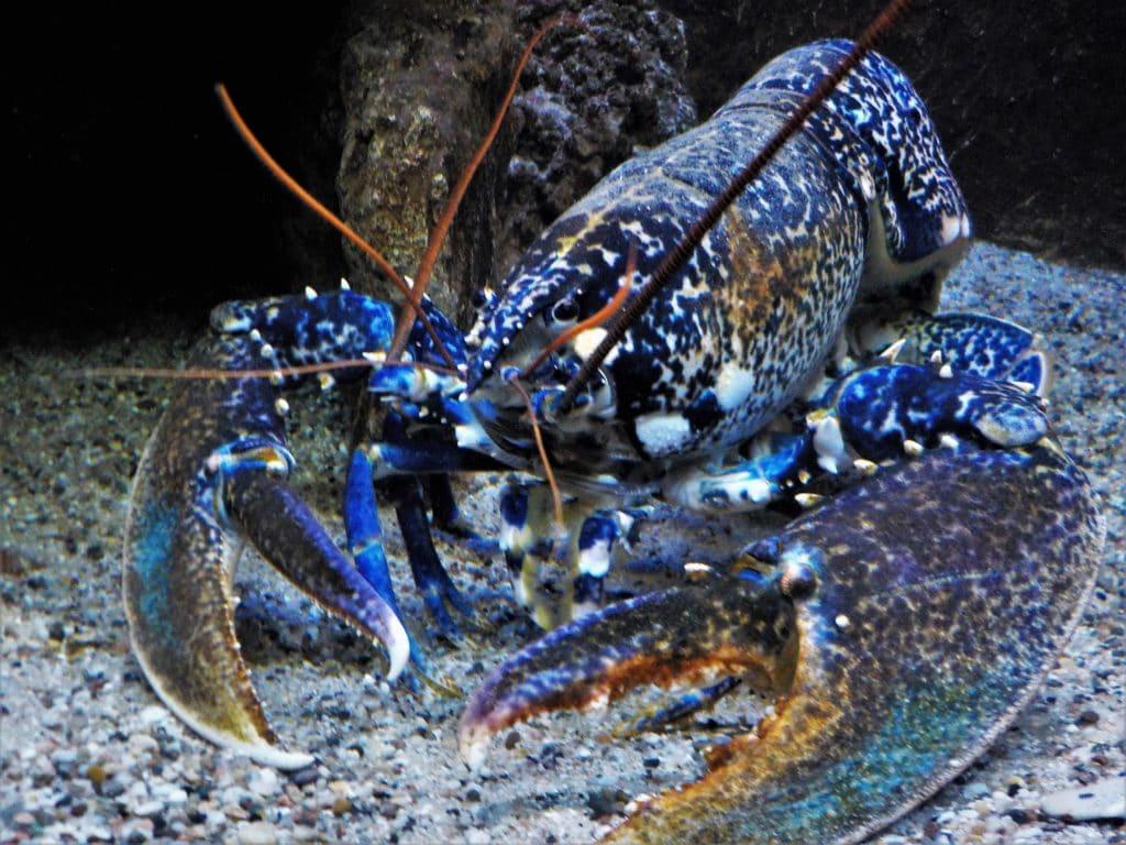 Homarus Gammarus (European Lobster)