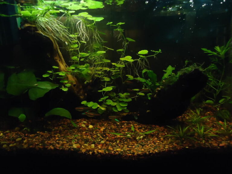 Brazilian Pennywort in a planted aquarium.