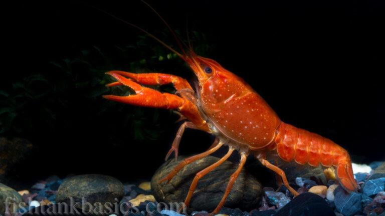 Freshwater Aquarium Crayfish