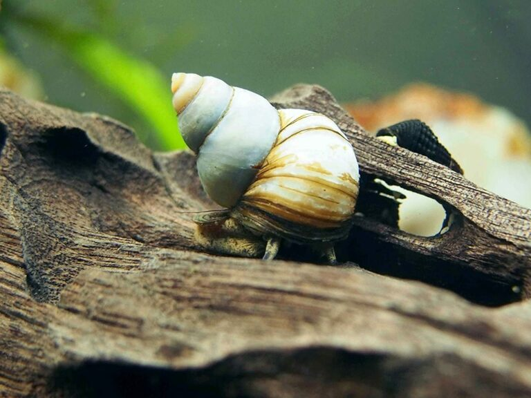 Japanese Trapdoor Snail On Driftwood