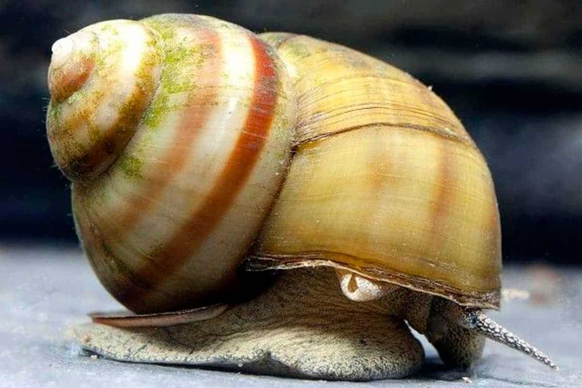 Japanese Trapdoor Snail Close Up