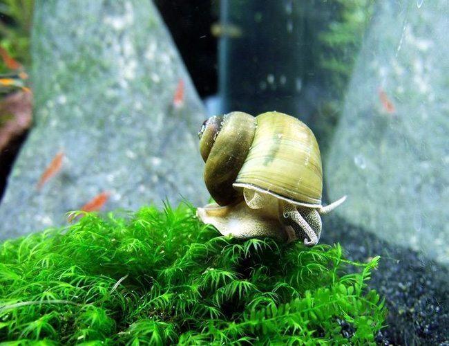 Japanese Trapdoor Snail crawling on aquatic plants.