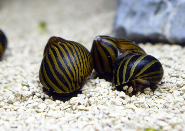 Zebra Nerite snails crawling on gravel.