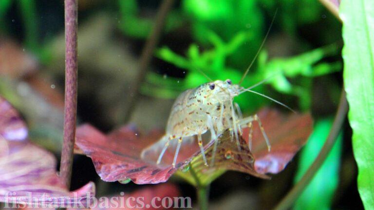 Close up of Amano shrimp