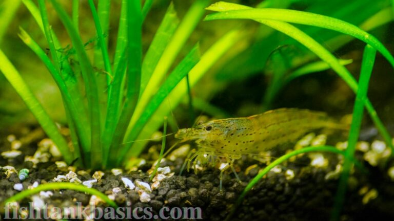 Amano shrimp on substrate.