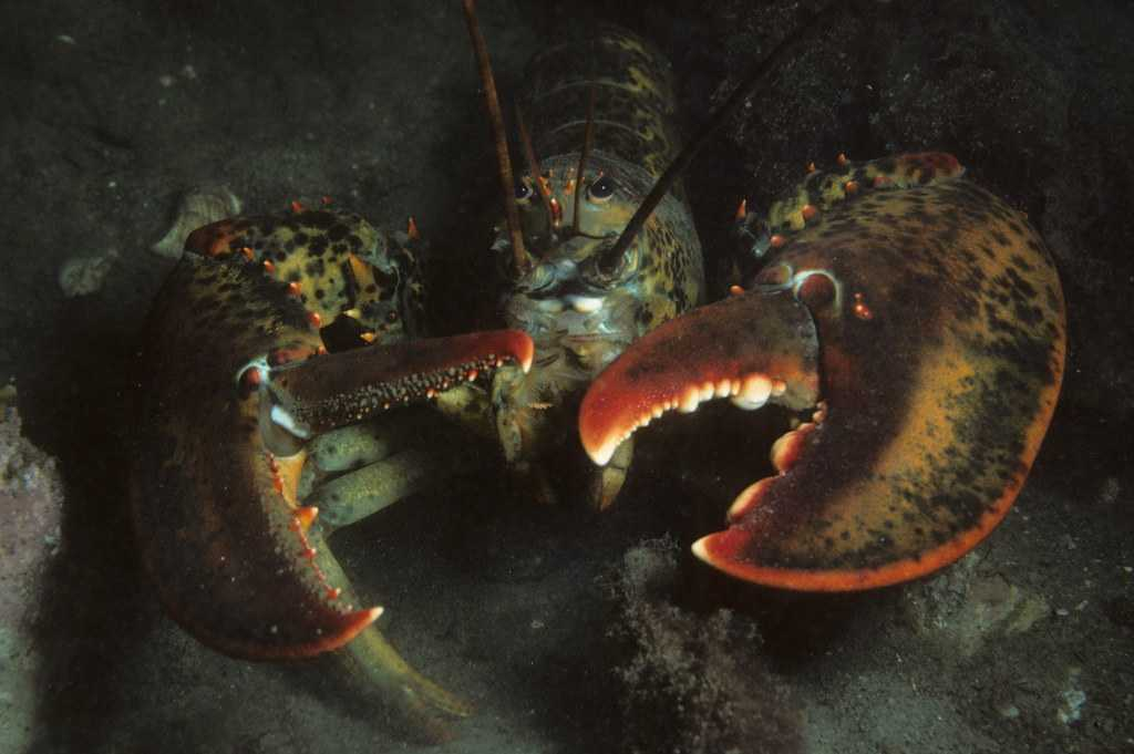 The american lobster, one of the types of lobster found in America.