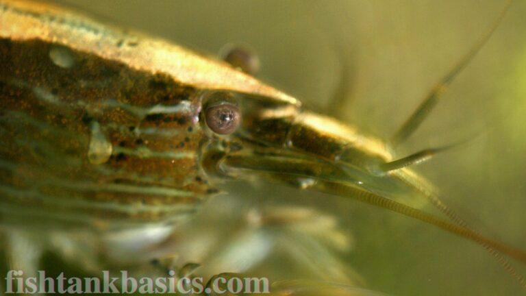 Close up of Bamboo Shrimp
