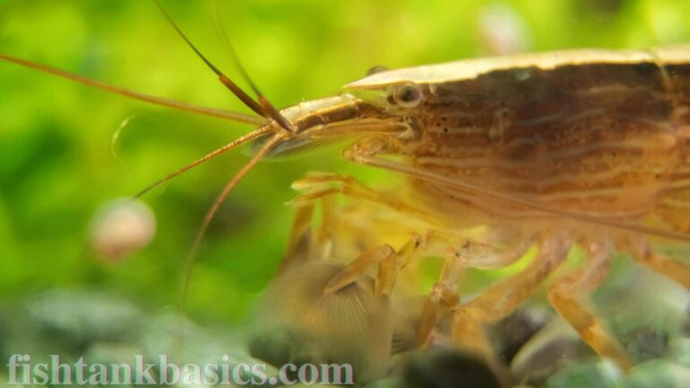 Close up of Fan Shrimp
