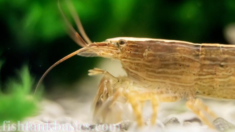 Close up of Wood Shrimp
