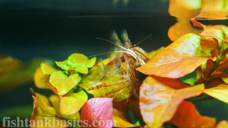 Fan shrimp between leaves.