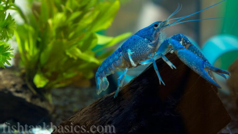 Hammers cobalt blue lobster on a log in an aquarium.