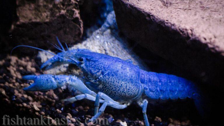 Blue crayfish between rocks.