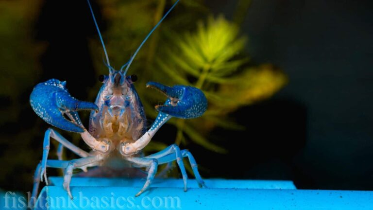 Front view of a blue crayfish with its claws raised and open.