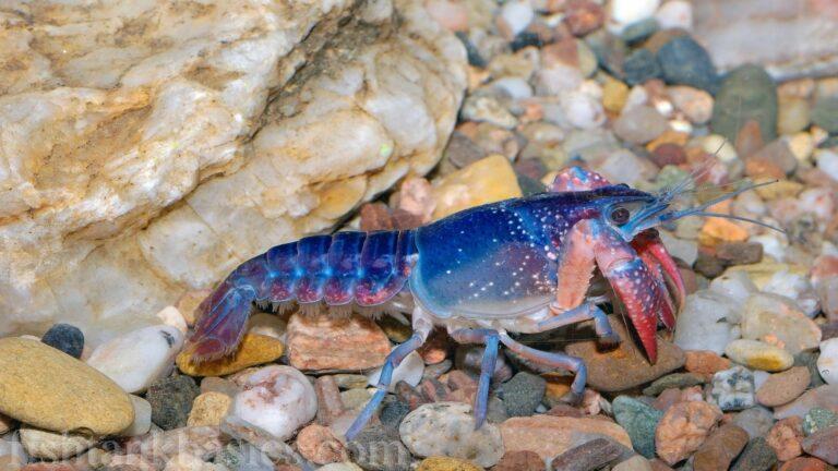 Blue Crayfish/Lobster