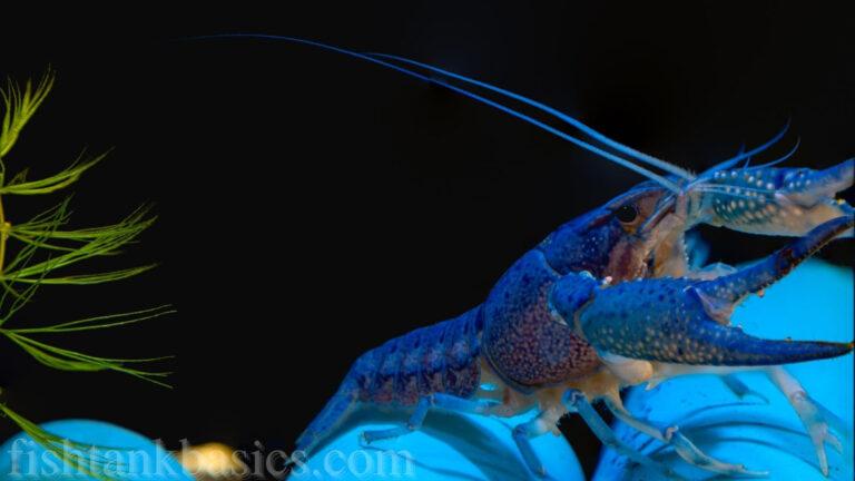 Cobalt Blue Lobster/Crayfish