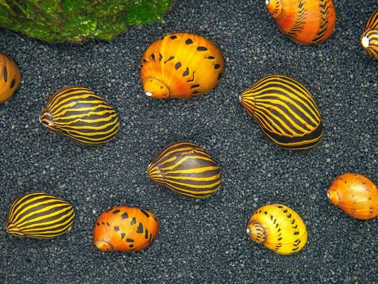 freshwater nerite snail shells