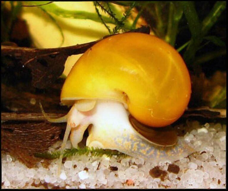 A gold mystery snail.
