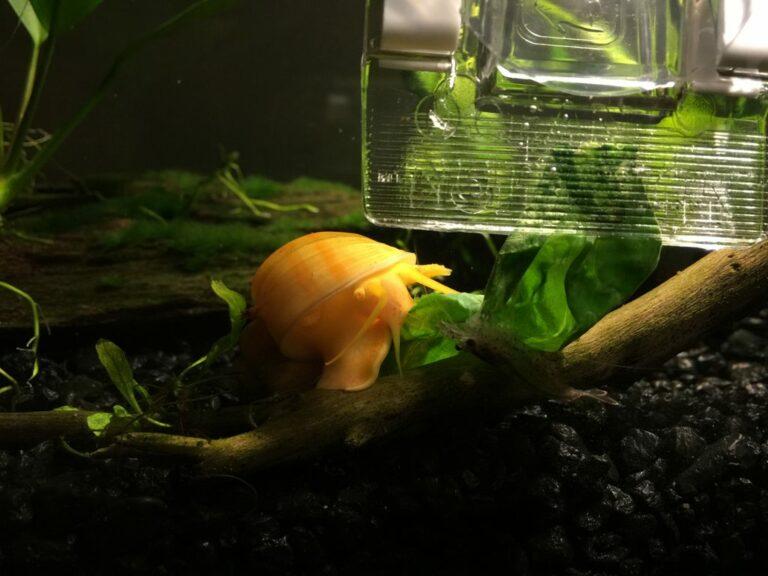 A golden Inca snail on driftwood.