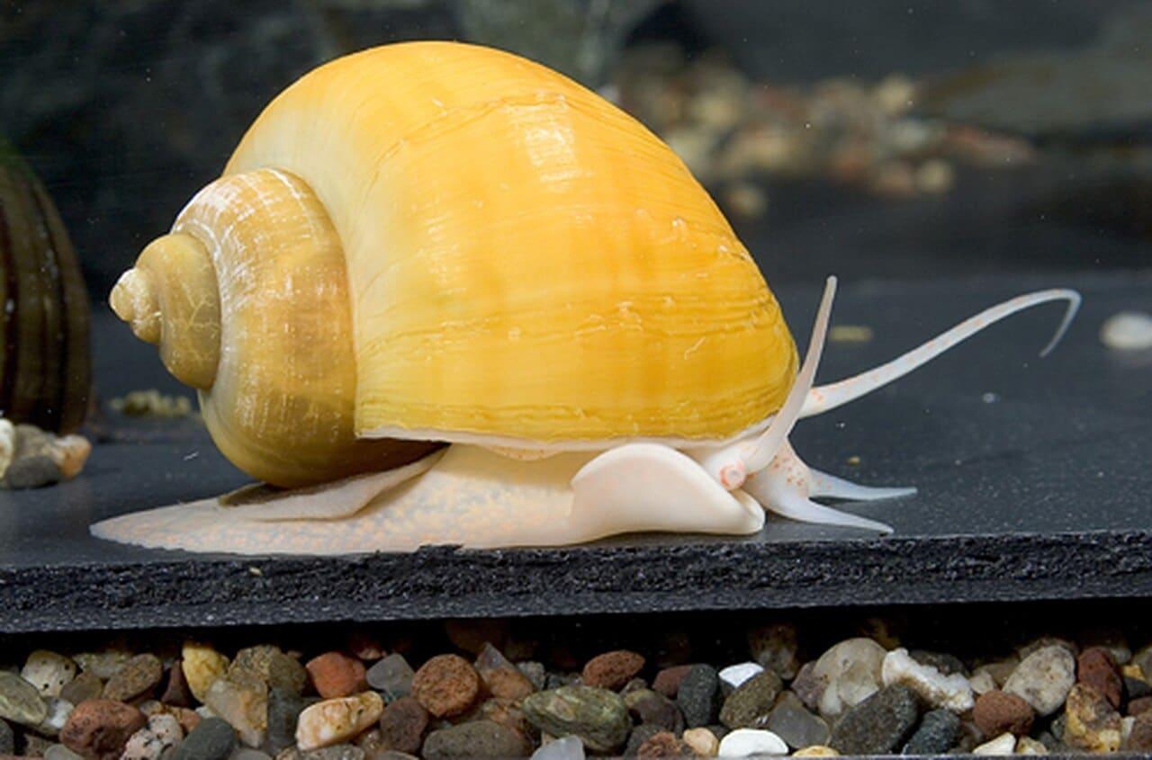 Golden mystery snail.
