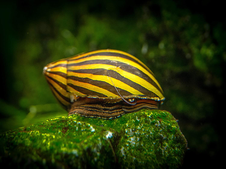 Nerite snail feeding on algae