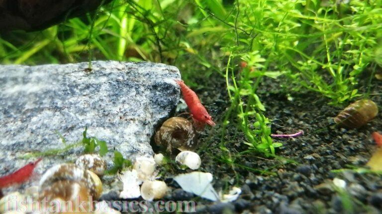 Red cherry shrimp exploring habitat.