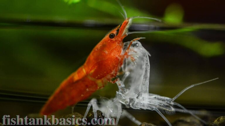 Red Cherry Shrimp feeding on recently shed exoskeleton.