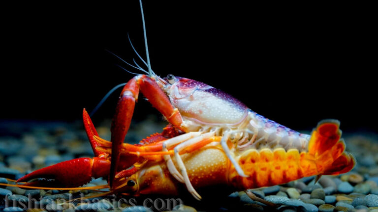 A tangerine crayfish/lobster on its back. It appears to have been toppled over by another species of lobster.